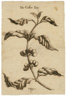 The coffee tree [graphic] / T. Harmer.